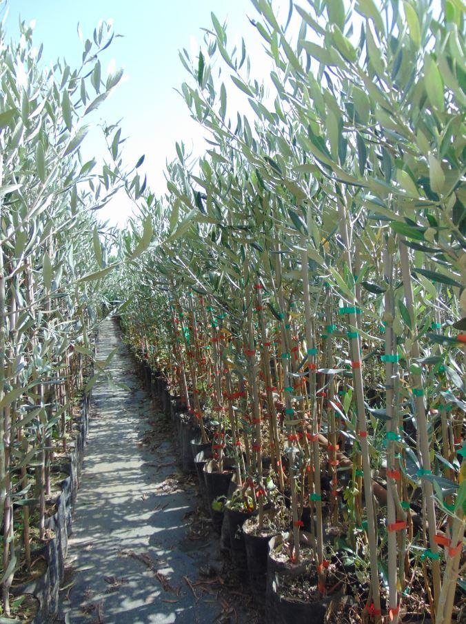 Produzione Piante Da Frutto : Ferrarotto vivai e piante ^ produzione vendita alberi